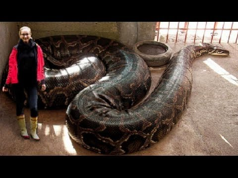 Thumbnail: World's Longest Snakes! EP. 424 : SnakeBytesTV : AnimalBytesTV