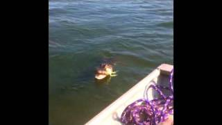 Alligator Fishing In Lake Jackson, Mississippi
