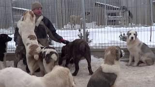 Hodowla AZJATEX z MAZOWSZA prezentuje szczenięta z linii psów pracujących. Tel. 501-98-82-82