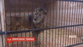 На Запоріжжі намагаються врятувати левів та ведмедів, яких попередній власник довів до виснаження