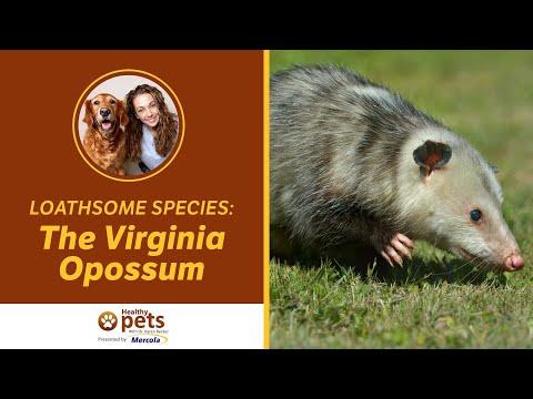 Loathsome Species: The Virginia Opossum