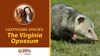 Loathsome Species: The Virginia Opossum