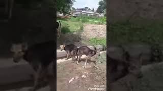 New Funny three Dogs Meeting in road - chautare seral