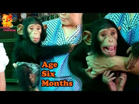 The cute of Baby Chimpanzee age 6 months