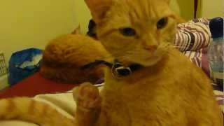 Ginger Cat Biting toe's Thumbnail