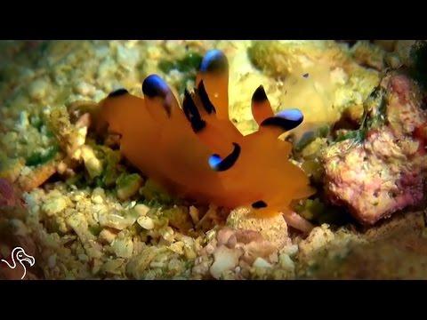 World's Cutest Sea Slug Has A Deadly Weapon