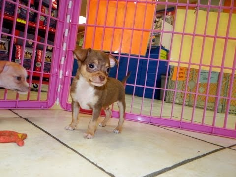 Chihuahua Puppies Dogs For Sale In Charlotte North Carolina Nc