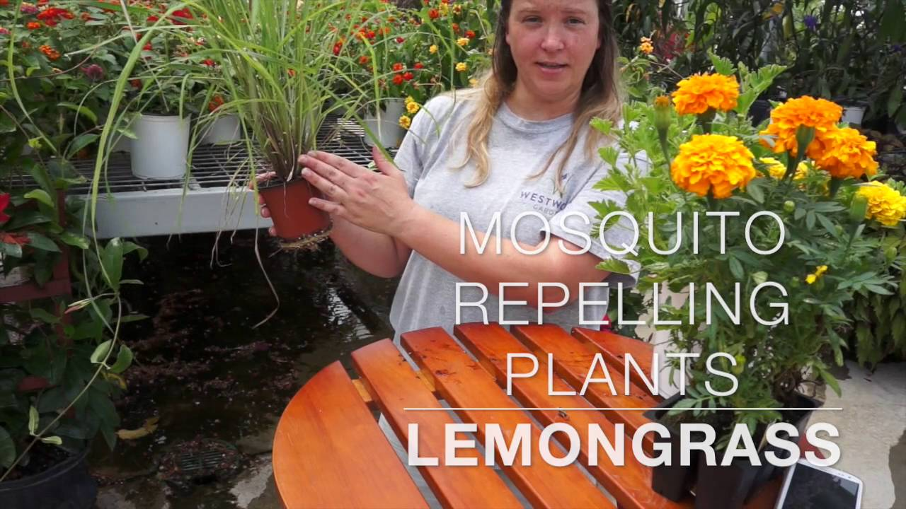Mosquito Repelling Plants Youtube