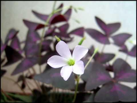 фиолетовые листья с бело-розовым цветком
