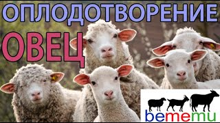 Правила оплодотворения овец. БеМеМу.