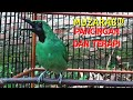 Pancingan Cucak Ijo Gacor Agar Ikutan Gacor Dan Emosi Terapi Rutin  Mp3 - Mp4 Download