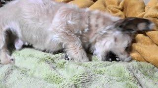 高速エア穴掘りでストレス発散する犬 ダックスりゅう