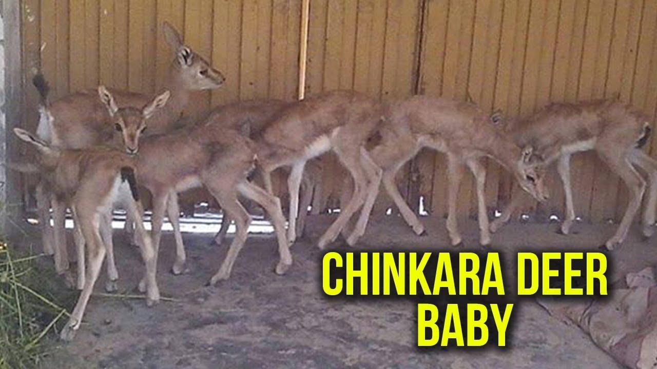 Playful Chinkara Deer Baby For Sale || Deer Farming In Pakistan