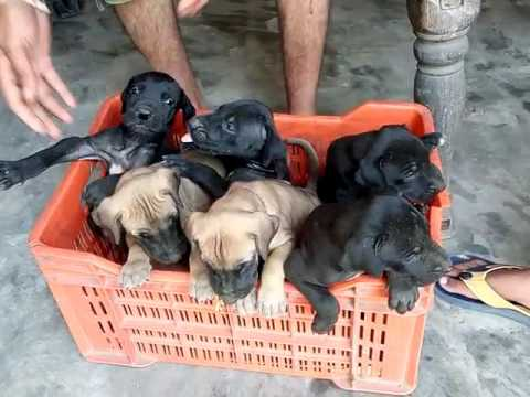 Great Dane dogs and puppies for sale in Delhi testify kennel call 9212501257. 45 days old