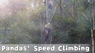 Two Skillful Tree Climbers' Speed Climbing Competition | iPanda thumbnail