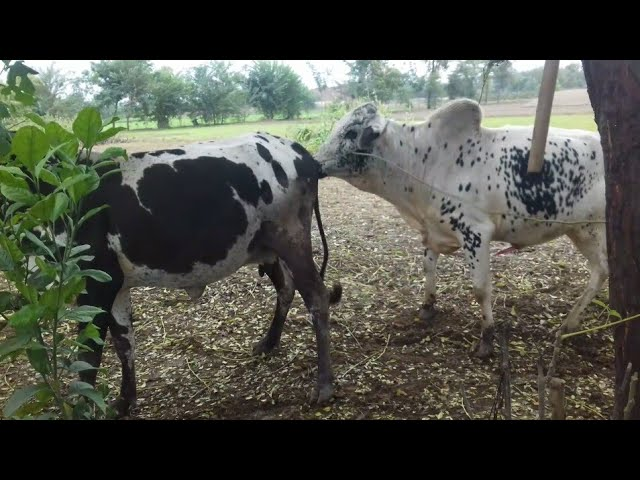 2018 asia best bull and cow meeting. Zabardast bull meeting. Modern mating #1