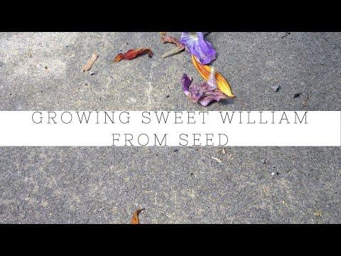 Growing sweet William biennials from seed