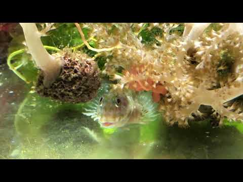 Aiptasia Eating Molly Miller Blenny