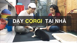 Corgi - Biếng ăn - Cắn tąy - Cắn đồ | Huấn luyện chó cơ bản BossDog