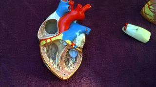 Internal Heart Features