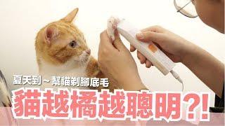剃貓咪腳底毛抗中暑-發現橘皮是天才呀-好味貓日常-ep49