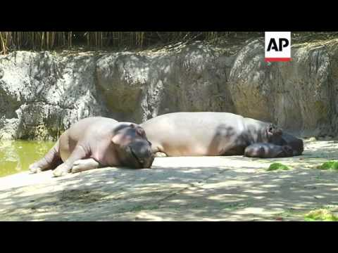 Mexico City's Chapultepec Zoo debuted its new baby hippopotamus, the first for the zoo in 16 years.