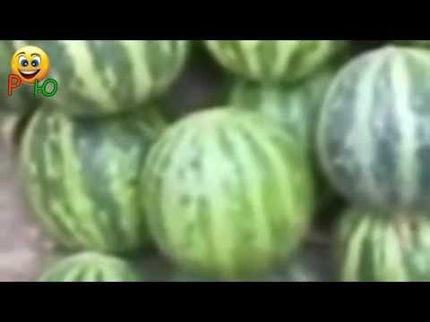 подборка приколов - мини арбузы