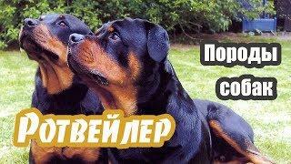 Породы собак. Ротвейлер