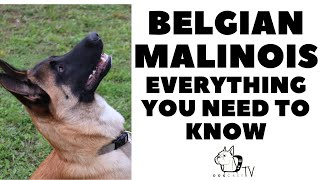 BELGIAN MALINOIS Dog Breed! Everything you need to know! DogcastTV!