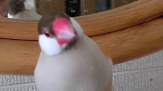 シナモン文鳥の葵くんをじっくりと! さえずりもかっこいい!?
