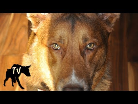 German Shepherd Kelpie Mix Nala | Baja Dog Vlog Clips