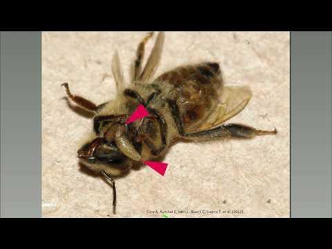Monarch Parasitoids