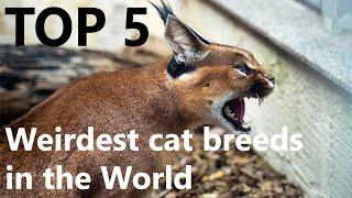 Top 5 Weirdest Cat Breeds In The World