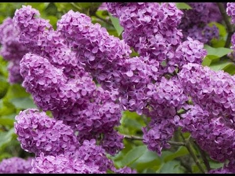 tailler le lilas - youtube