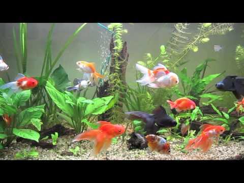 Gli acquari di roberto youtube for Pesce oranda
