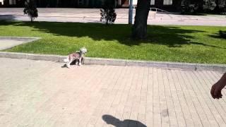 Китайская хохлатая собака летом на прогулке