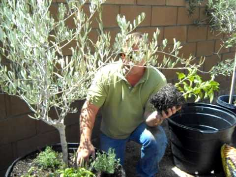 Container Gardening Olive Tree Planting