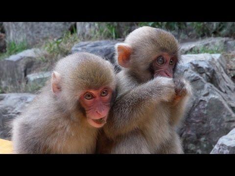 Japanese SNOW MONKEYS (ニホンザル) of Jigokudani Monkey Park