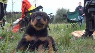 Latvian Rottweiler Club