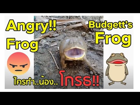Angry Frog : Budgett's frog