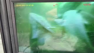 Сомы в Астраханском заповеднике