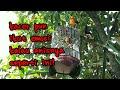 Semua Jenis Burung Pasti Emosi Dan Ikut Gacor Mendengar Ngeplong Keras Anis Merah Ini  Mp3 - Mp4 Download