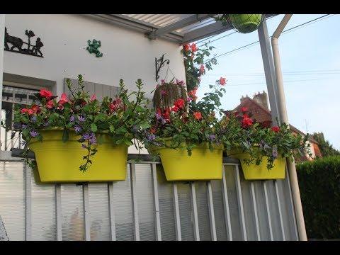 évolution des jardinières de scaevolas et bégonias dragon wing le 26 mai