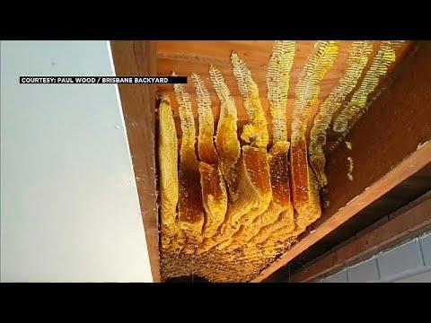 شاهد: العثور على 50 كيلوغراما من العسل و60 ألف نحلة في سقف منزل لسيدة أسترالية …  - نشر قبل 54 دقيقة