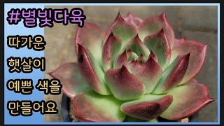 #다육#명품다육(비스트자이언트)#인기 창 재입고 완료#저렴한 가격#Succulent plant#肉质植物#별빛…