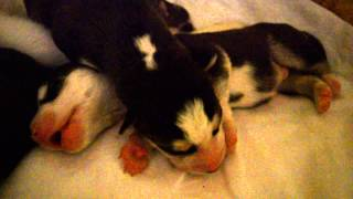 Funny Puppy  (Siberian Husky)