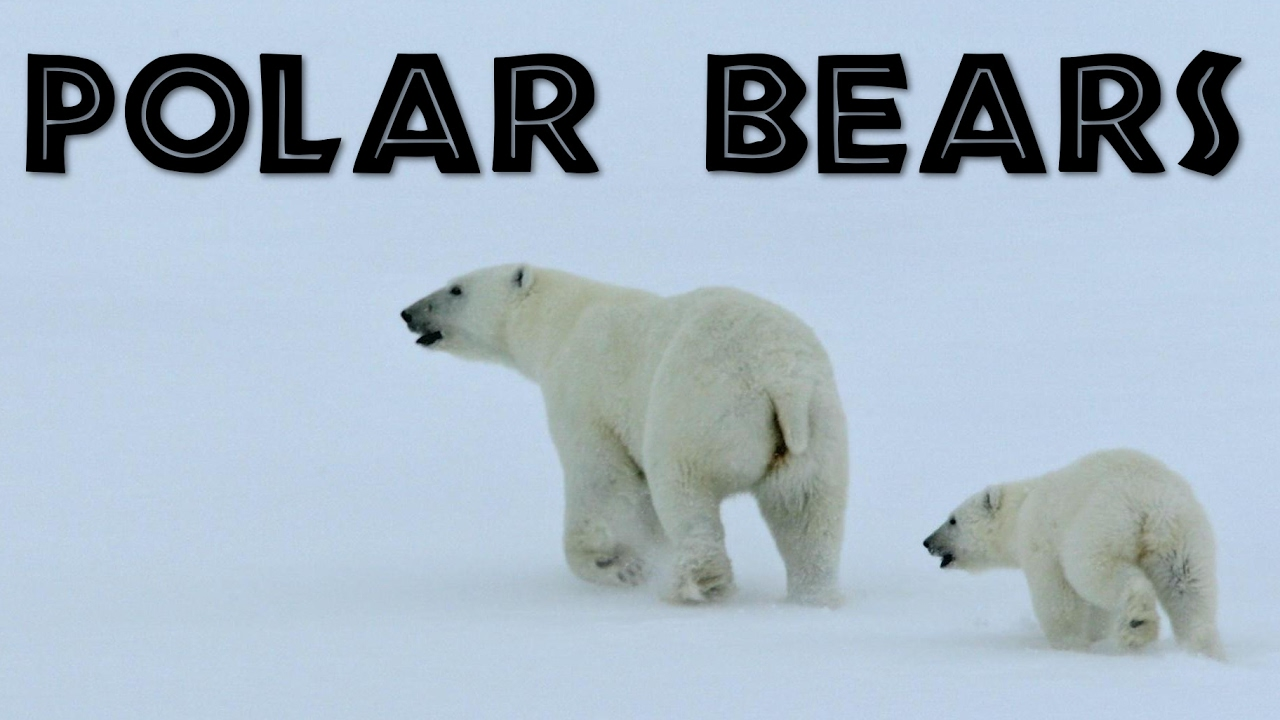 polar bear habitat for kids wwwpixsharkcom images