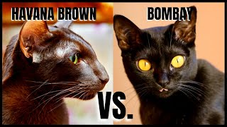 Havana Brown Cat VS. Bombay Cat