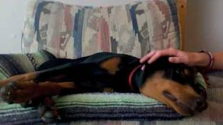 Doberman Pinscher Puppy Eating