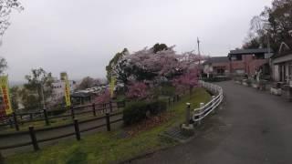 枚岡公園の桜並木